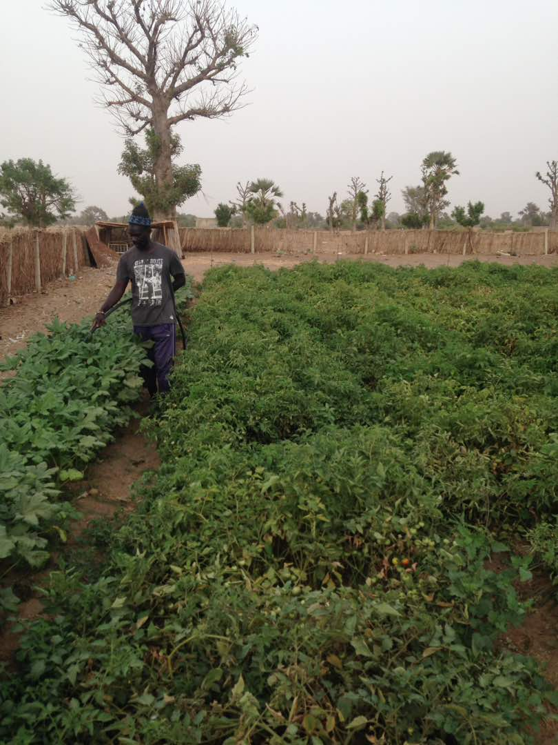 Maraicher arrosant des plants de tomates a Ndiaganiao