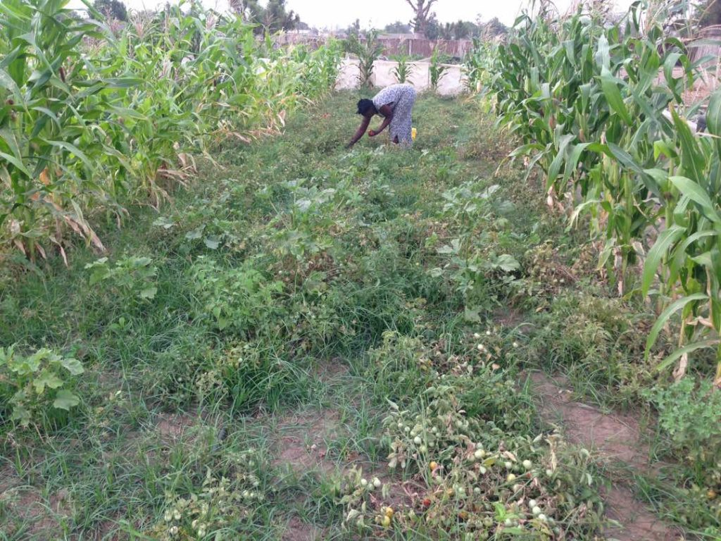 Femme recoltant des tomates dans un champ avec du mais a Ndiaganiao